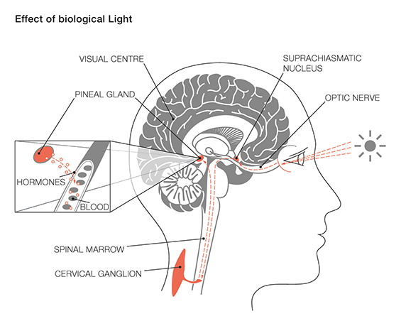 biological light